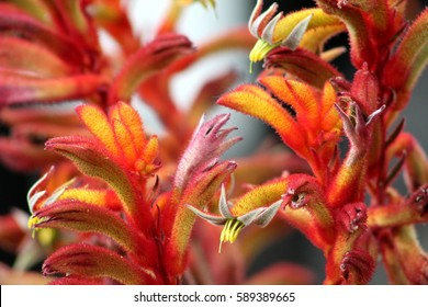 close up of red kangaroo paws flower with blurry background. bright red and yellow fuzzy plant with unusual features. exotic.