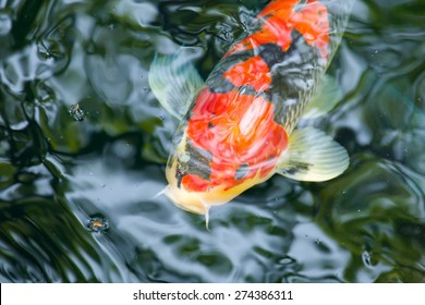 Close up of a red koi carp head while swimming
