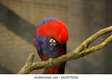 Close up to the red lory (Eos rubra)