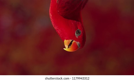 Close up of a red lory on a branch, Extreme close up of a curious Red head Lory - parrot, Red Lory parrot This Red Lory parrots of small size, are unusually brightly coloured. Lori's birds friendly an