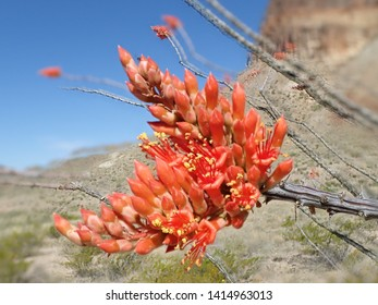 Close up of a red Ocotillo Cactus bloom in the desert