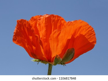 close up of red poppy against blue sky