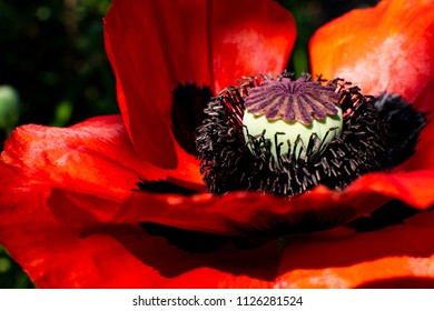 Close up of red poppy (Papaver rhoeas). Close up of the middle of a red poppy.