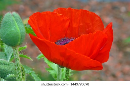 Close up of a red poppy with a purple maroon heart . Maroon was the color of the beret of the 1st British Airborne Division that fought in Arnhem in 1944.