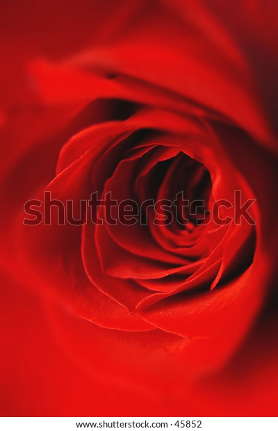 Close up red rose.