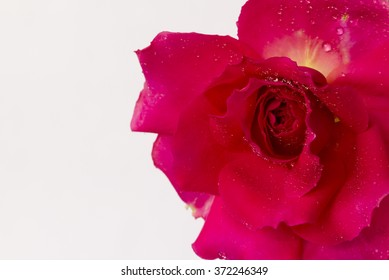 close up of Red rose against white background