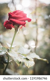 Close up of red rose with dew drop on a bush in a garden