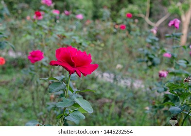 Close up Red rose flower on green nature.