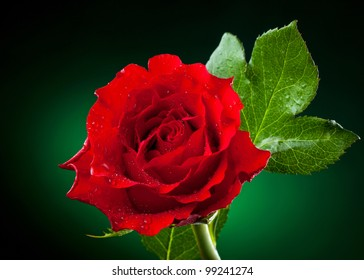 close up of red rose on dark green background