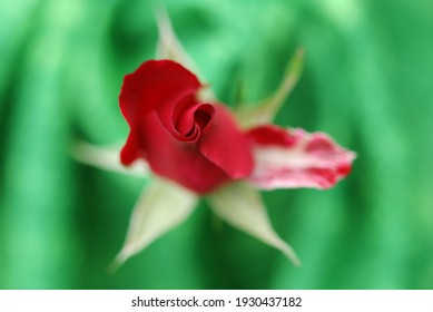 Close up of a red rosebud. Floral macro. Macro nature.