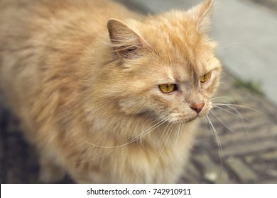Close up of red spotted cat with bright golden eyes