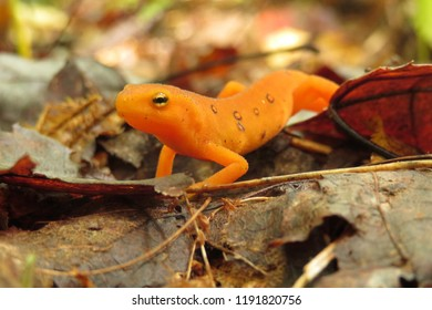 Close up of a red spotted newt (eft, Notophthalmus viridescens, salamander) on fallen leaves in autumn.