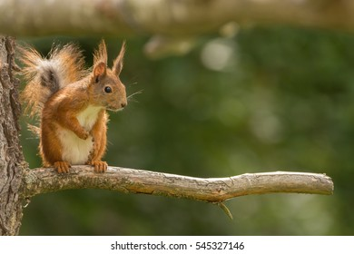 close up of a red squirrel on a branch looking down
