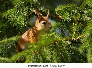 Close up of a Red squirrel (Sciurus Vulgaris) in a fir tree.