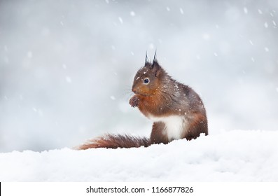 Close up of a red squirrel sitting in the snow. Snowing in England. Animals in winter.