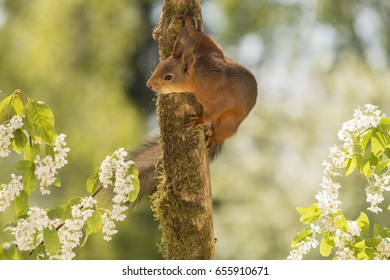 close up of  red squirrel standing on the side of tree trunk with flowers in sunlight