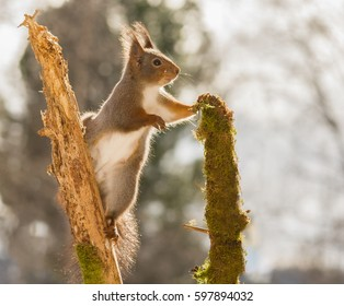 close up of  red squirrel standing in tree  between two branches  looking away