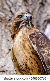 Close up of Red Tail Hawk sitting in tree on winter morning