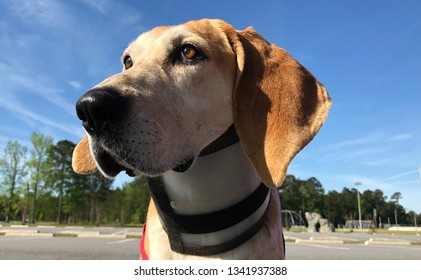 Close up of Red Tick Coonhound wearing neck brace for injury.