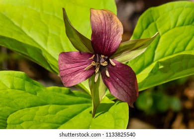 Close up of a Red Trillium flower. Presqu'ile Provincial Park, Brighton, Ontario, Canada.