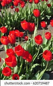 Close up of red tulips in a field at a tulip festival in western Washington state U.S.