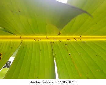 Close up of red weaver ants (Oecophylla smaragdina) on the green leaf of banana tree in the garden.