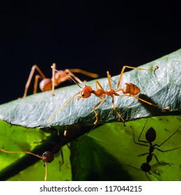 Close up of red weaver ants on green leaf (their habitat)