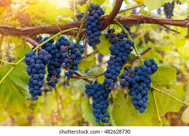 Close up of red wine grapes hanging on the vine in the afternoon sun