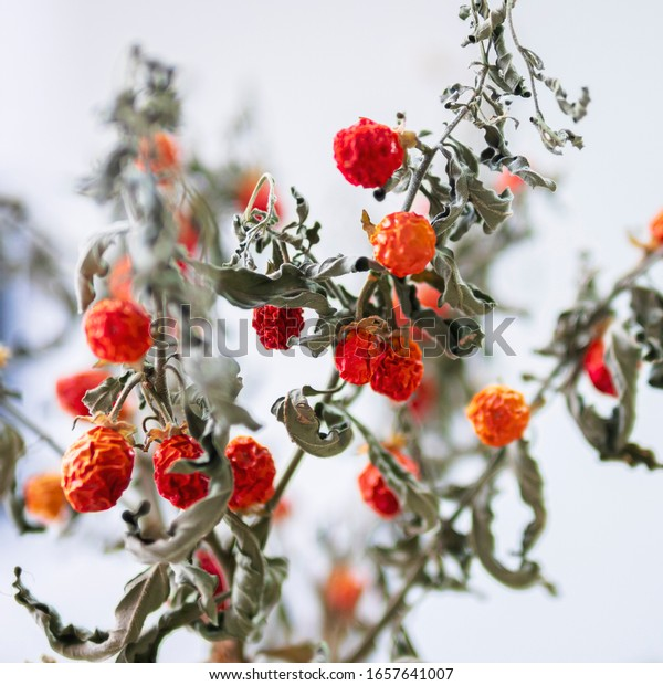 Close up of red withered flower. Spices and herbs for cooking. Beautiful dried house plant