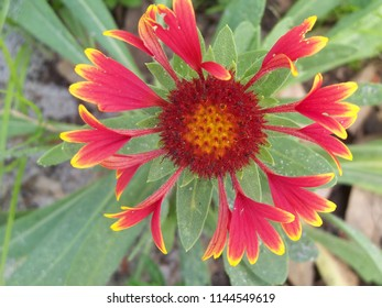 Close up of a red and yellow Gaillardia flower