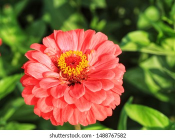 Close up of red zinnia flower,Red zinnia flower in the garden,Beautiful red zinnia flowers field and natural background.