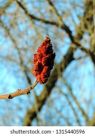 Close up of the reddish fruit of the female sumac tree in spring. Rhus typhina, the staghorn sumac. Poland, Europe