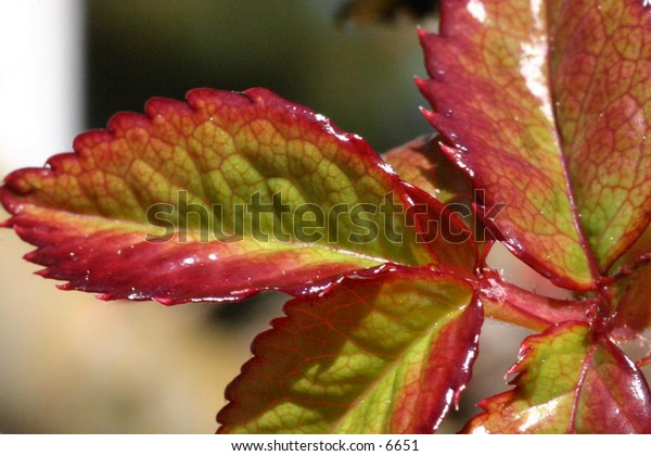 close up of red-fringed leaves