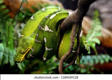 Close up of a resting green boa