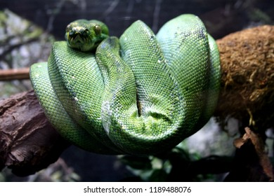 Close up of a resting green tree python