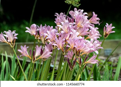 Close up of resurrection lilies against a green background