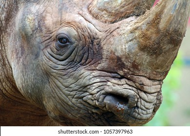 Close up of a rhino