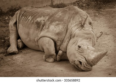A close up of a rhino / rhinoceros laying on the ground in the zoo. Sepia photo of rhino resting on the sandy ground.