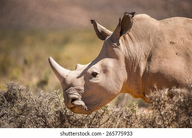 Close up of a rhinocero in South Africa