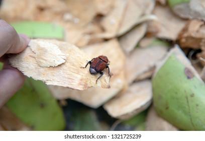 "close up ""Rhinoceros Beetle"" or ""Coconut rhinoceros beetle"" hard cover isect destroy coconut tree enermy of coconut farming."