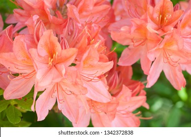 Close up of a Rhododendron Flower Growing on a bush in an English garden