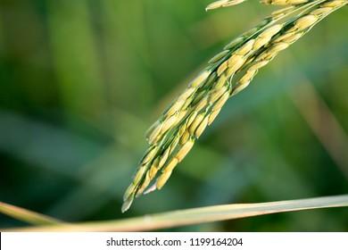 Close up of rice