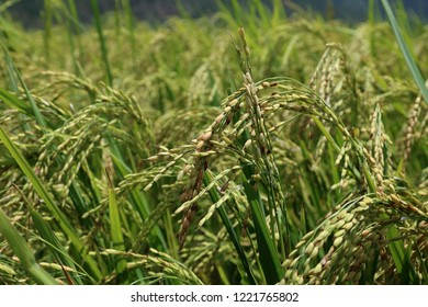 Close up of rice cropa in the ripening phase in the paddy fields of Punakha Valley of Bhutan