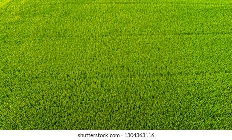 close up Rice field  .