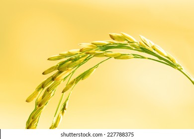 Close up of Rice in Field