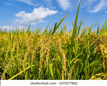 Close to rice field in a day time with beautiful blue sky and cloud in background , agricultural concept