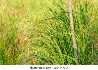 Close up of rice fields