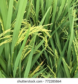 Close up of rice paddy plants