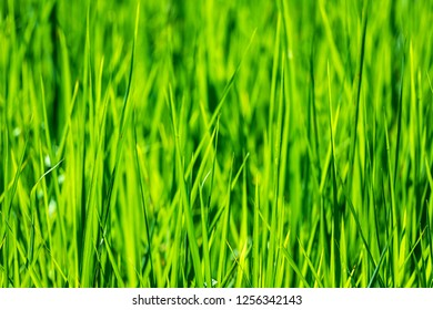 Close up of rice plant growing in rice field background