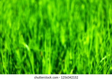 Close up of rice plant growing in rice field blurred background